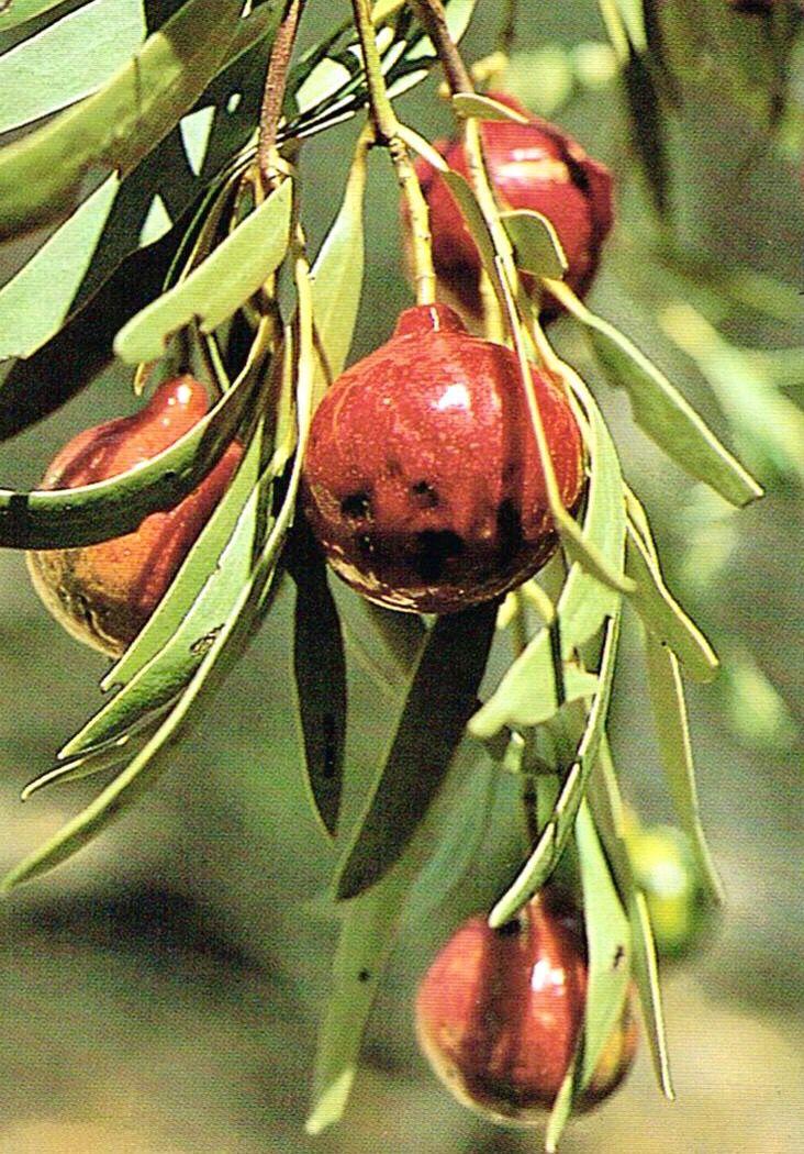 Quondong Colorful Flowers Arrangements Australian Plants Amazing Flowers