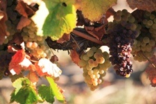 Grapes in the Milawa Gourmet Region