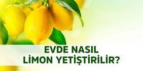 Evde Limon Çekirdeğinden Limon Yetiştirme - Sosyal Bilgi Platformu