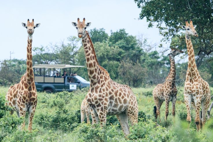 Viewing Giraffes whilst on drive