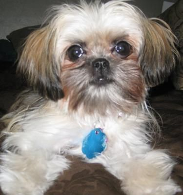 My Penny: Penny is a Shih Tzu Maltese mix and my perfect puppy. She is 13 months old and very little, she only weighs about 4 pounds! She loves to play tug of war