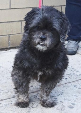 BUDDY - A1097370 - - Manhattan  Please Share:TO BE DESTROYED 11/30/16 **PUBLICLY ADOPTABLE** -  Click for info & Current Status: http://nycdogs.urgentpodr.org/buddy-a1097370/