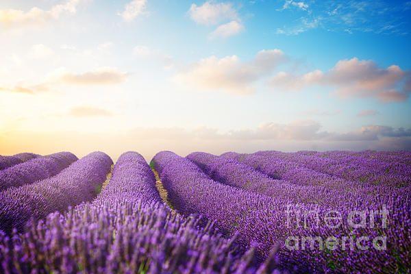 Lavender flowers field with summer blue and pink sunrise sky, Provence, France by Anastasy Yarmolovich #AnastasyYarmolovichFineArtPhotography  #ArtForHome #Flowers #Provence #France