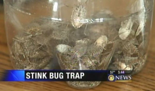 simple diy stink bug trap works fast build one today