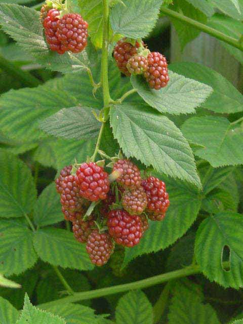 'Navaho' Thornless Blackberry | Southern Living Plants
