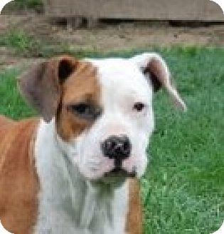 Hagerstown, MD - English Bulldog/Boxer Mix. Meet Cornelia B, a dog for adoption. http://www.adoptapet.com/pet/18272600-hagerstown-maryland-english-bulldog-mix
