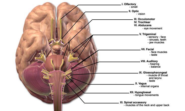 7 besten Hirnnerven Bilder auf Pinterest | Anatomie, Anatomie lernen ...