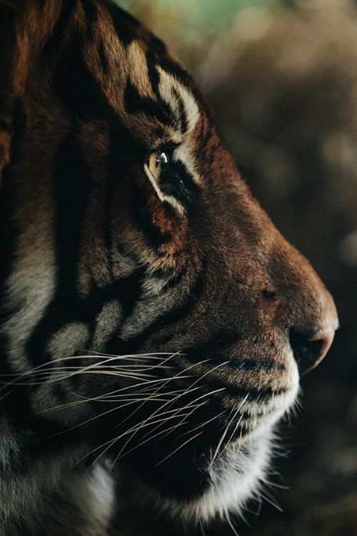 I'm thinking a tiger ||Anthony Graziano