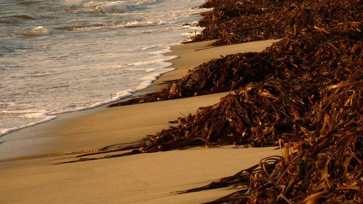 wrack. sea. beach.  Afife. Viana do Castelo. Portugal