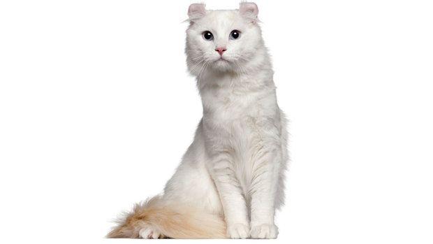 POLITICANDO: Onze raças exóticas de gatos domésticos