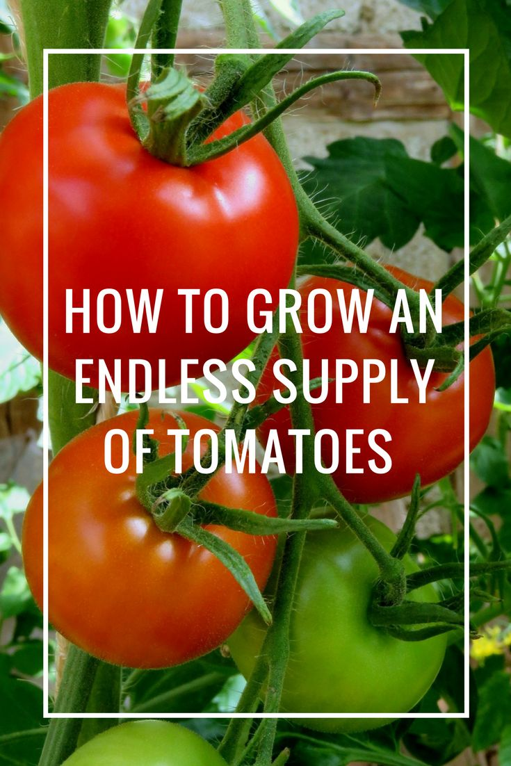 How to Grow an Endless Supply of Tomatoes