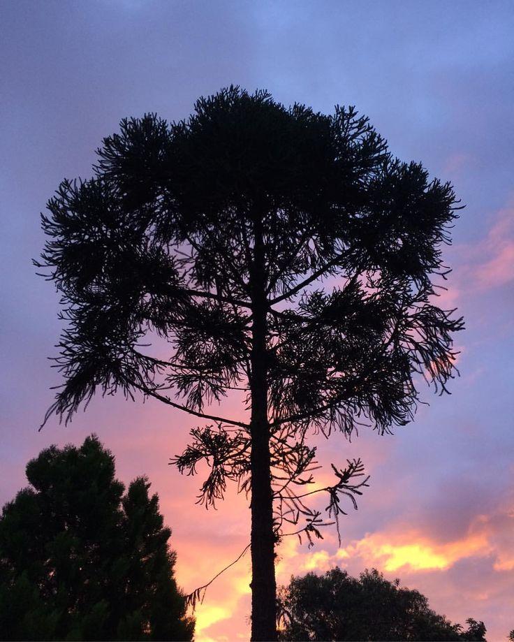 Photo: Lilian Larrañaga // Sem filtro, porque no Outono nem precisa, né…?! ✨✨ #araucaria #pinheirodoparana #tree #autumn #fall #sky #sunset #rural_love #renegade_rural #ig_countryside #paraná #brazil (em Chácara Larranhaga)