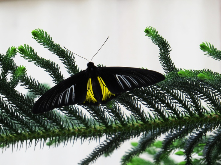 Small troide - Montreal Insectarium : Butterflies Go Free