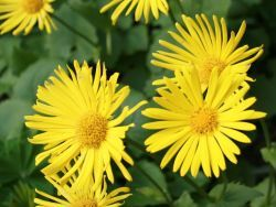 DORONICUM orientale - Magnificum. HAVE. Very early; will go with tulips and daffs.