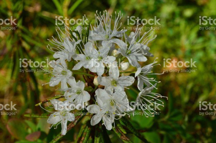 Morning summer dew on white flowers of wild rosemary Стоковые фото Стоковая фотография