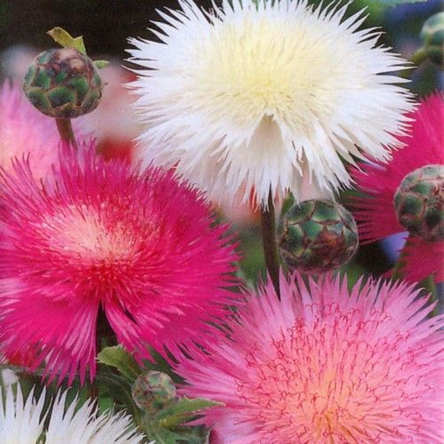 """Sweet Sultan Imperialis Mix: Native to the Middle East and Mediterranean regions, this flower has been popular in gardens since the 1600s because of its fragrant blossoms. Its common name, """"Sweet Sult Flower seeds, vegetable seeds"""