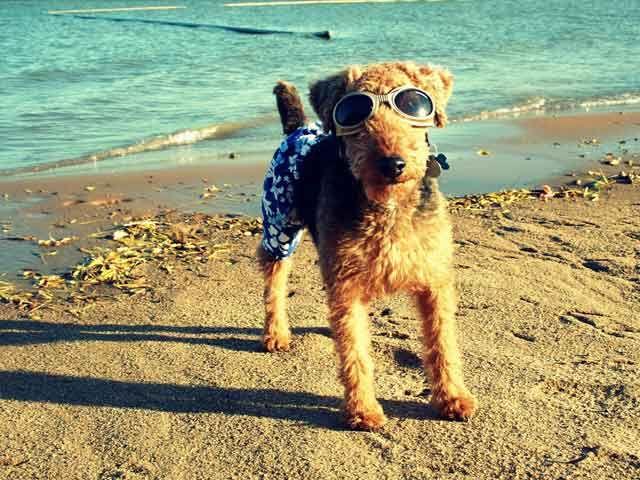 Image detail for -Kansas Welsh Terrier Breeders | Find a Local Welsh Terrier Dog Breeder ...