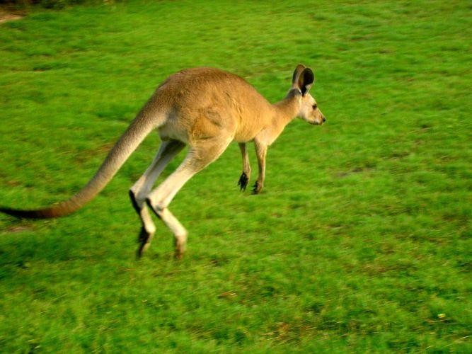 images of kangaroos | bouncing kangaroo