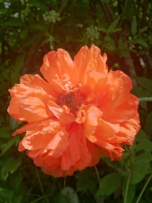 Valmue i haven, 09.06.13