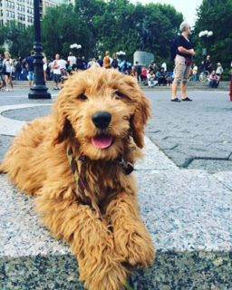 full grown miniature goldendoodle - Google Search