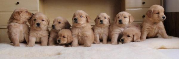 St Paul MN Golden Retriever Puppies For Sale & Breeding Services | Tails of Gold Retrievers