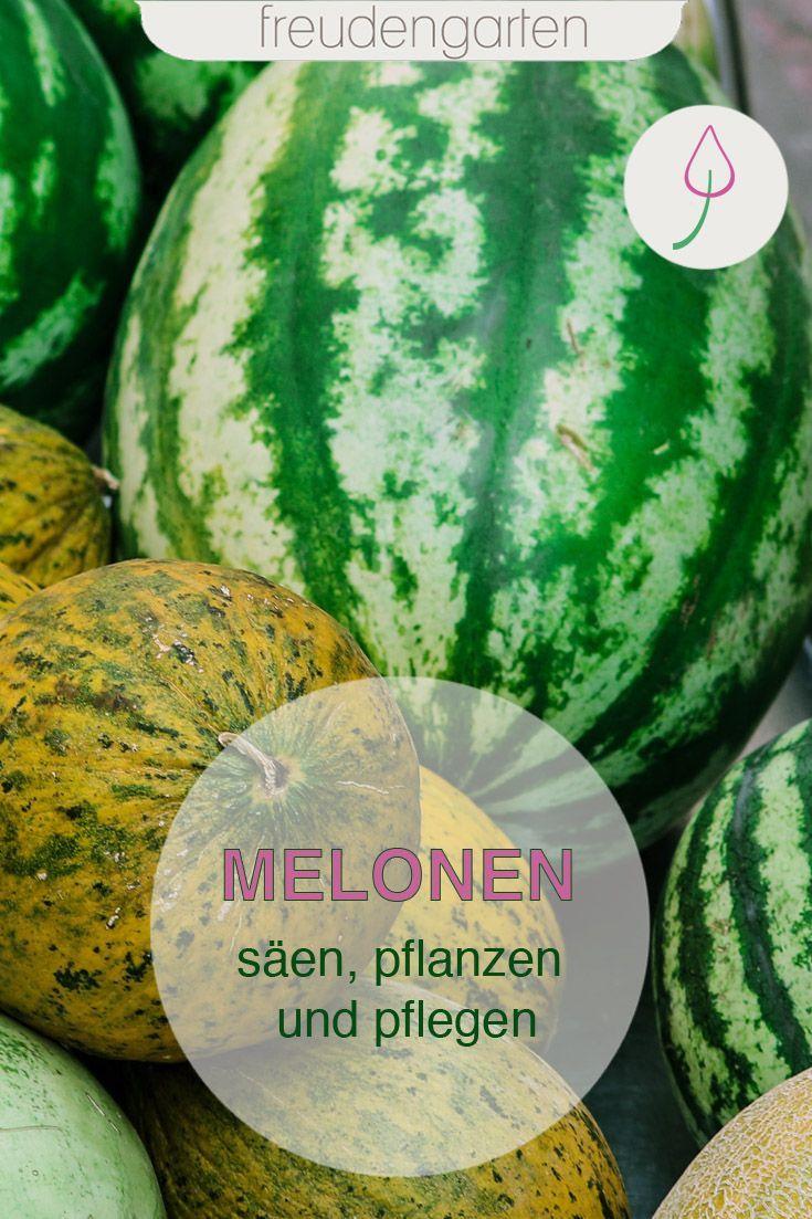 Melonen Saen Anbauen Pflegen Und Ernten Melonen Anbauen Melonen Zucchini Pflanzen