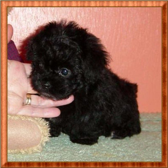Available Teacup Poodles Tiny Toy And Toy Poodle Breeder Toy Poodle Puppies Poodle Puppy Teacup Poodle Puppies Toy Poodle Puppies