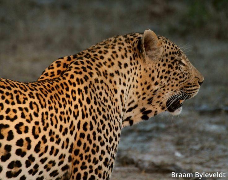 Tingana male big boy     PHOTOGRAPHY BY BRAAM BYLEVELDT, SABI SANDS, SOUTH AFRICA