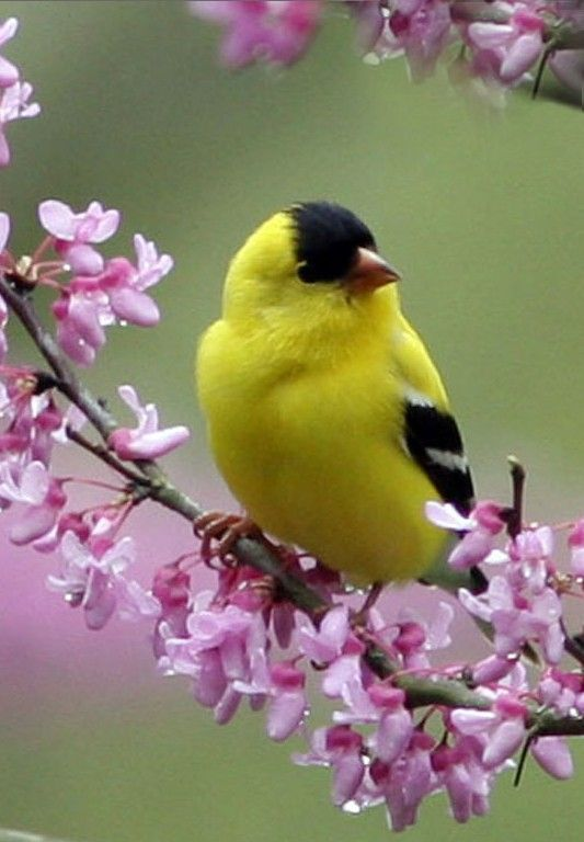 The joy of spring. Gold finch.  My Mom and I believe, when you see one, God is talking to you.