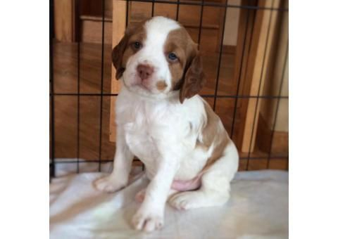 Brittany Spaniel Puppies for Sale in PA