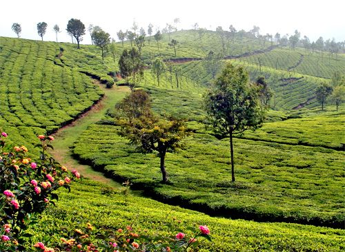 gardens of india | Tea Gardens of Ooty, Tamil Nadu