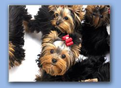 Teacup Yorkshire Terriers For Sale Boston Massachusetts Toy Yorkie Breeder Puppies CT