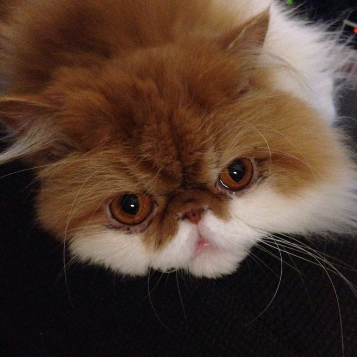 Peanut Butter, Persian cat