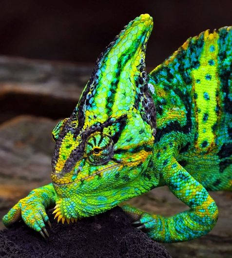 Amazing Colorful Chamilions: 26 Best Images About CHAMELEON On Pinterest