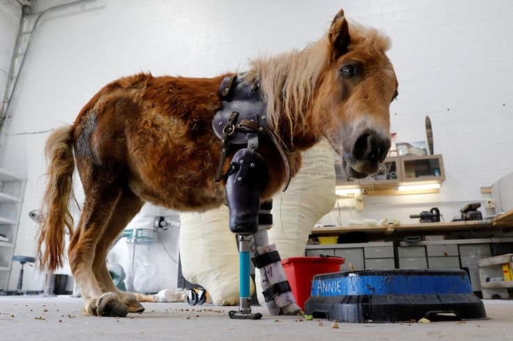Angel Marie, a three-legged mini horse who wears a prosthetic leg made by Derrick Campana of Animal Ortho Care, looks up from her feeding bowl during a visit with Campana in Sterling, Virginia, on March 27, 2017.