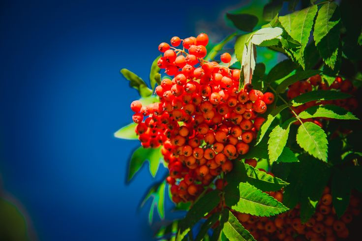 Russian Mountain ash by Дмитрий Волков on 500px