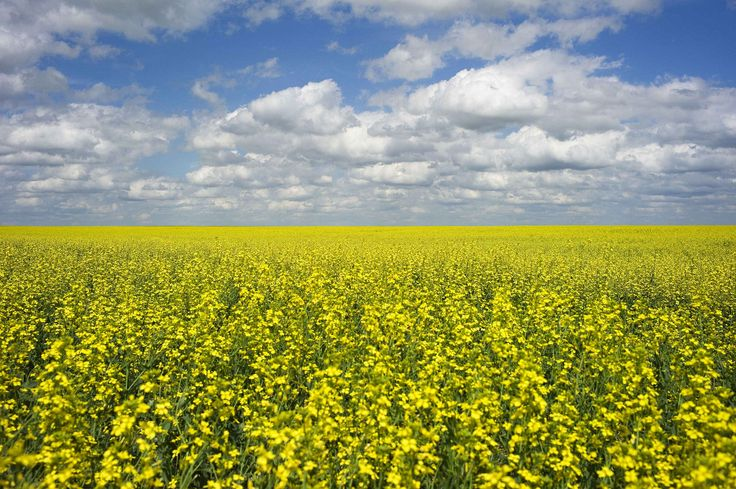 A canola crop used for making cooking oil sits in full bloom on the Canadian prairies.