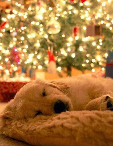 Cozy puppy #christmas