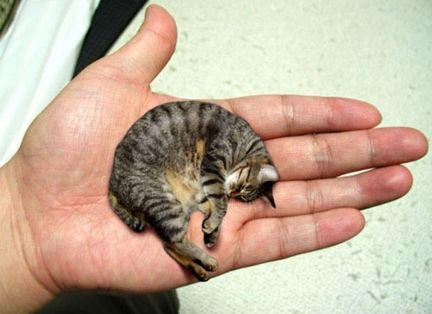 Mr. Peebles from Pekin, Illinois, USA was claimed as the world\'s smallest cat. Mr. Peebles is two years old cat weighing just 3 pounds and measuring a mere 6.1 inches in height.