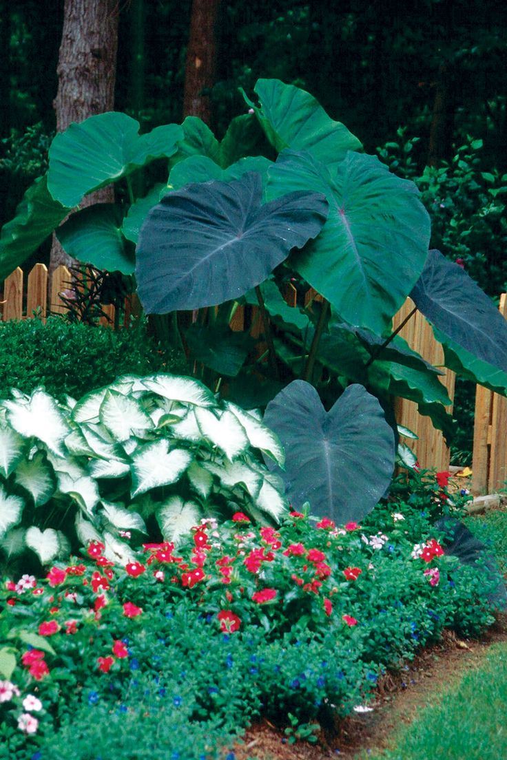 Caladiums and elephant ears! Love the Elephant ears. I like this layout and those BIG plants!!! #tropical #dan330 http://livedan330.com/2015/05/09/how-to-grow-a-tropical-jungle-garden/