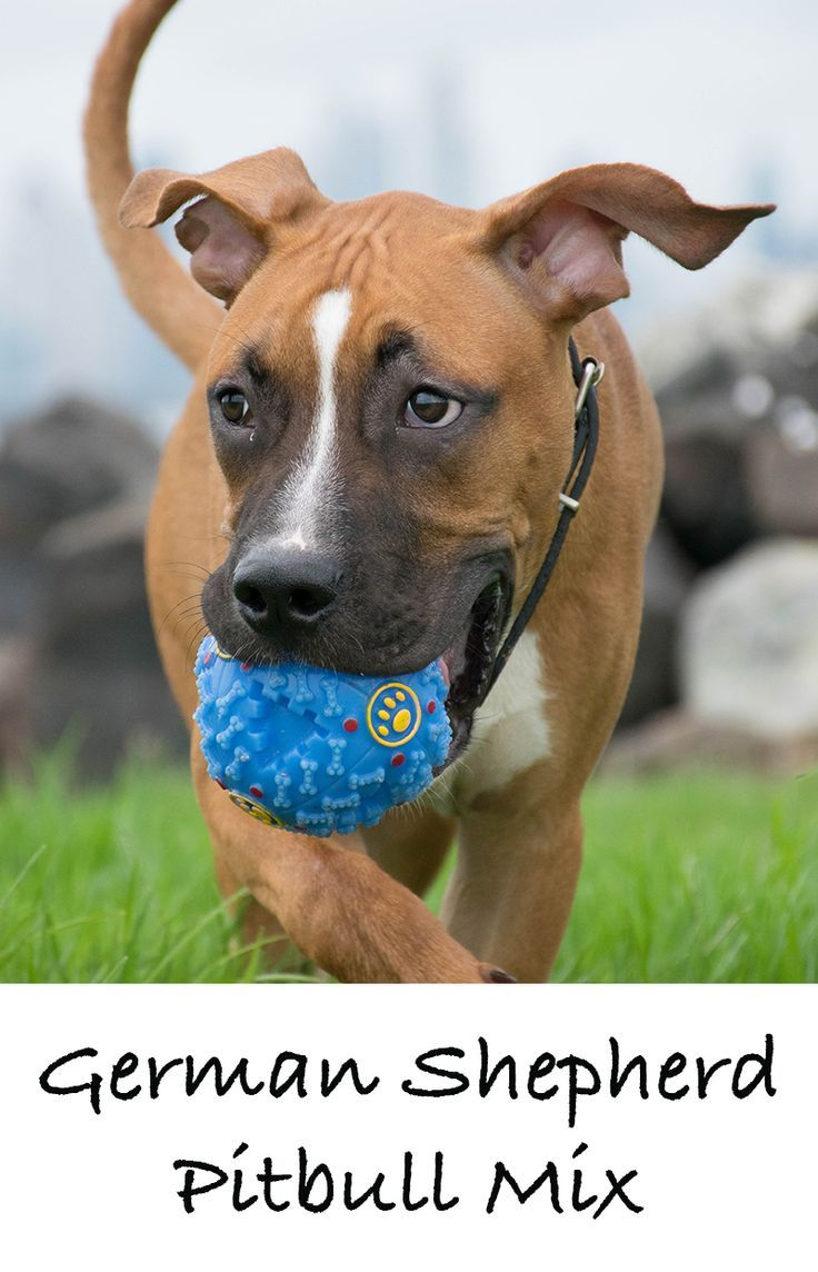 Williamwear A Complete Guide To The German Shepherd Pitbull Mix Pitbull Mix Pitbulls Pitbull Mix Puppies