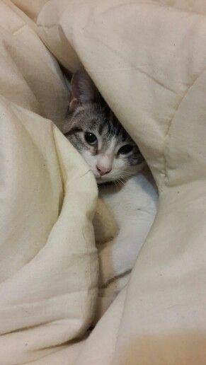 Tabitha cat hiding in a blanket.