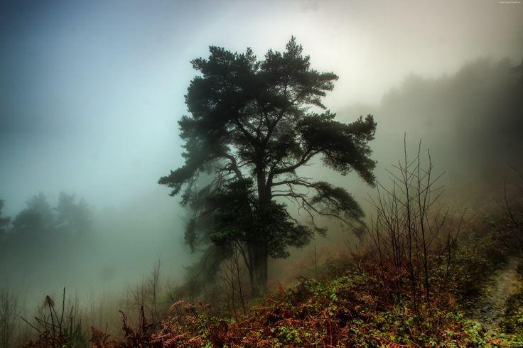 Jesień, Las, Drzewo, Sosna, Mgła