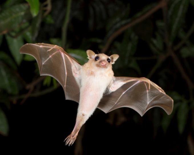 Los murciélagos de las áreas urbanas pueden consumir casi 14.000 kilos de insectos en una sola noche, librándonos de este modo de plagas nocivas. En sus desplazamientos llevan consigo todo tipo de semillas que contribuyen a la extensión de los bosques en las latitudes medias y tropicales, así como a la polinización. Pueden dispersar más de 30.000 semillas pequeñas en una noche. Murciélagos