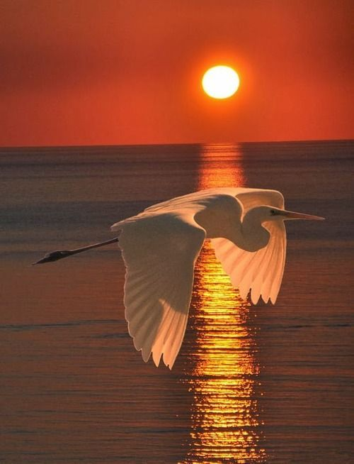 -Egret at sunset