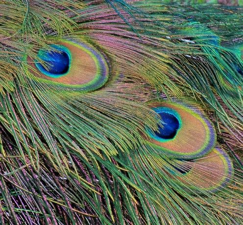 Pavo muticus feathers