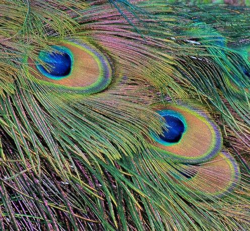 Pavo muticus feathers