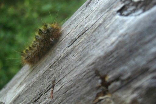 Caterpillar in Redwood Forest, CA USA