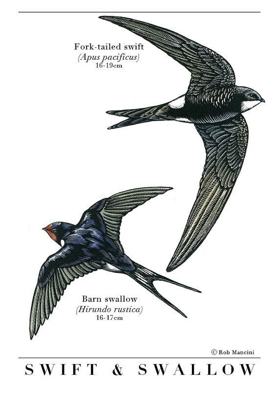 Bird illustration - Swift and Swallow - bird art, print of original scratchboard artwork - A4