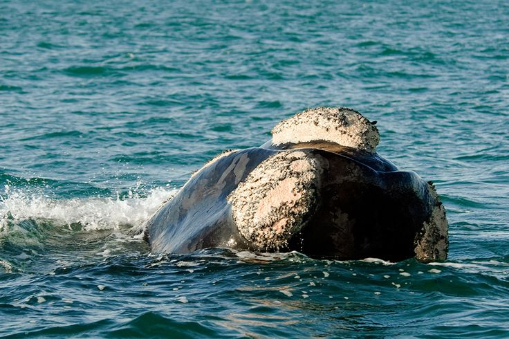 7 Things We're Going to Miss About Winter at Grootbos #SouthernRightWhale #WhaleWatching #whales www.grootbos.com